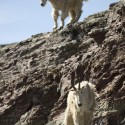 2 Mountain Goats