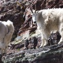 2 Mountain Goats Again