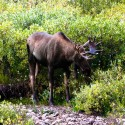Moose Standing