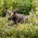 Moose over Bushes