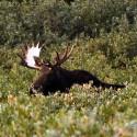 Moose Bright Antlers