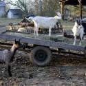 Free Goats